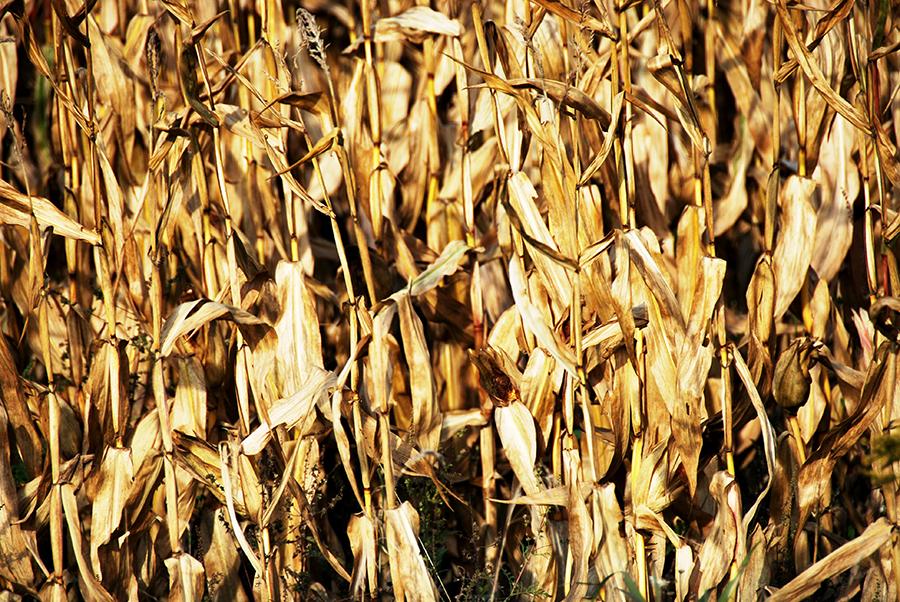 Corn for harvest